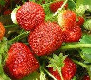 Почему клубника цветет а ягоды не завязываются