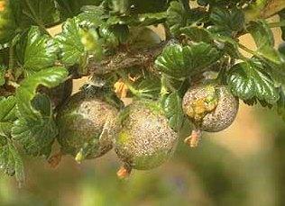 На ягодах крыжовника коричневый налет что делать